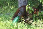 Bornean orangutan that has found a plastic bottle and filled it with river water to drink [kalteng_0938]
