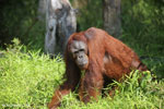 Bornean orangutan that has found a plastic bottle and filled it with river water to drink [kalteng_0939]