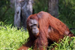 Bornean orangutan that has found a plastic bottle and filled it with river water to drink [kalteng_0941]