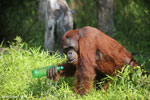 Bornean orangutan that has found a plastic bottle and filled it with river water to drink [kalteng_0943]