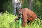 Bornean orangutan that has found a plastic bottle and filled it with river water to drink [kalteng_0944]