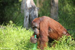 Bornean orangutan that has found a plastic bottle and filled it with river water to drink [kalteng_0946]