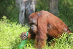 Bornean orangutan that has found a plastic bottle and filled it with river water to drink [kalteng_0947]
