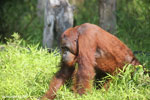 Bornean orangutan that has found a plastic bottle and filled it with river water to drink [kalteng_0948]