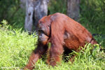 Bornean orangutan that has found a plastic bottle and filled it with river water to drink