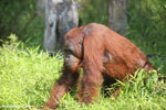Bornean orangutan that has found a plastic bottle and filled it with river water to drink [kalteng_0950]