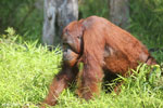 Bornean orangutan that has found a plastic bottle and filled it with river water to drink [kalteng_0951]
