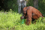Bornean orangutan that has found a plastic bottle and filled it with river water to drink [kalteng_0952]