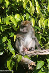 Male macaque [kalteng_0959]