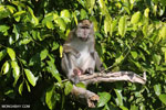 Male macaque