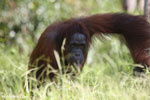 Bornean orangutan in Borneo [kalteng_0967]