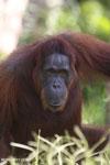 Bornean orangutan in Borneo [kalteng_0969]