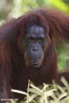 Bornean orangutan in Central Kalimantan [kalteng_0970]