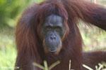 Bornean orangutan in Borneo [kalteng_0975]