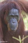 Bornean orangutan in Borneo [kalteng_0976]