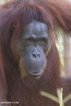 Bornean orangutan in Borneo [kalteng_0977]