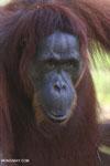 Bornean orangutan in Borneo [kalteng_0979]