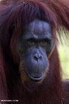 Bornean orangutan in Indonesian Borneo [kalteng_0980]