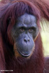 Bornean orangutan in Indonesian Borneo [kalteng_0981]