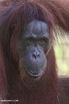 Bornean orangutan in Borneo [kalteng_0982]