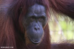 Bornean orangutan in Indonesian Borneo [kalteng_0983]