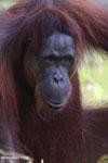 Bornean orangutan in Borneo [kalteng_0984]