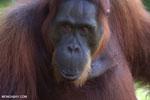 Bornean orangutan in Borneo [kalteng_0985]