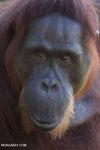 Bornean orangutan in Borneo [kalteng_0987]