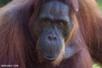 Bornean orangutan in Borneo [kalteng_0989]