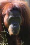 Bornean orangutan in Central Kalimantan [kalteng_0993]