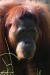 Bornean orangutan in Borneo [kalteng_0994]