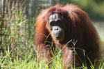 Bornean orangutan in Borneo [kalteng_0996]