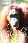 Bornean orangutan in Borneo [kalteng_0997]