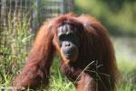 Bornean orangutan in Borneo [kalteng_0998]