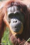 Bornean orangutan in Borneo [kalteng_0999]
