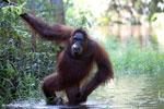 Bornean orangutan in Borneo on orangutan island [kalteng_1001]