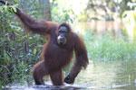 Bornean orangutan in Borneo on orangutan island [kalteng_1002]