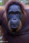 Bornean orangutan in Borneo [kalteng_1004]