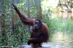 Bornean orangutan in Borneo on orangutan island [kalteng_1005]