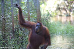 Bornean orangutan in Borneo on orangutan island [kalteng_1006]