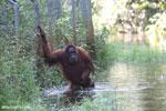 Bornean orangutan in Borneo on orangutan island [kalteng_1007]