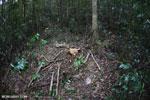 Stump of an illegally logged tree [kalteng_1054]