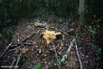 Stump of an illegally logged tree [kalteng_1056]