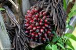 Oil palm fresh fruit bunch [kalteng_1069]
