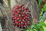 Oil palm fresh fruit bunch [kalteng_1070]