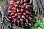 Oil palm fresh fruit bunch [kalteng_1072]