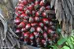 Oil palm fresh fruit bunch [kalteng_1073]