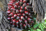 Oil palm fresh fruit bunch [kalteng_1074]