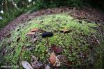 Black pill millipede [kalteng_1096]