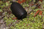 Black pill millipede [kalteng_1097]